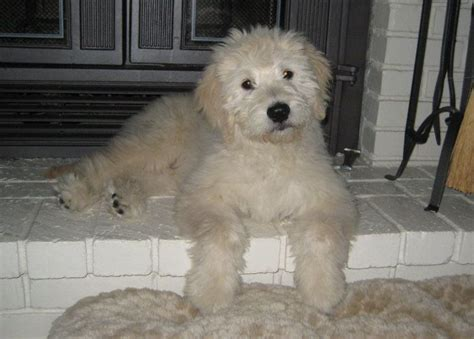 english goldendoodle english goldendoodle animal therapy pinterest