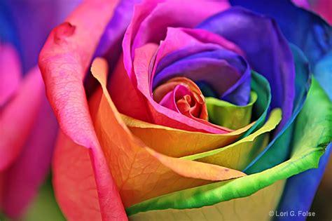 colorful roshes amazing rainbow roses favbulous