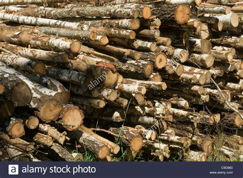 buy birch tree logs birch wood log logs forest forestry timber woods tree