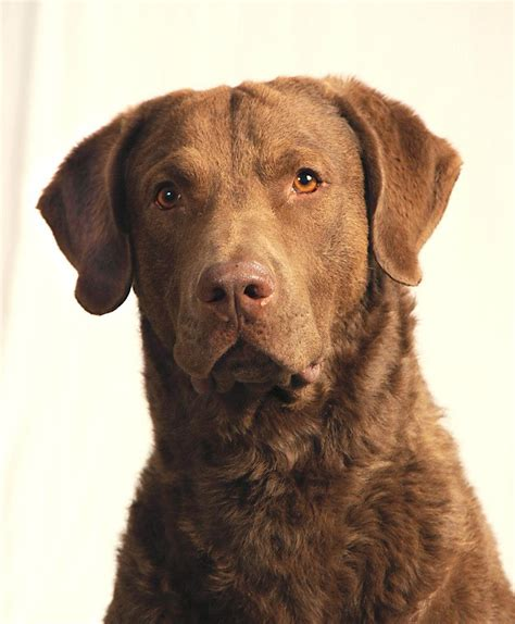 chesapeake puppies chesapeake bay retriever pictures chesapeake bay retriever puppies for breeds