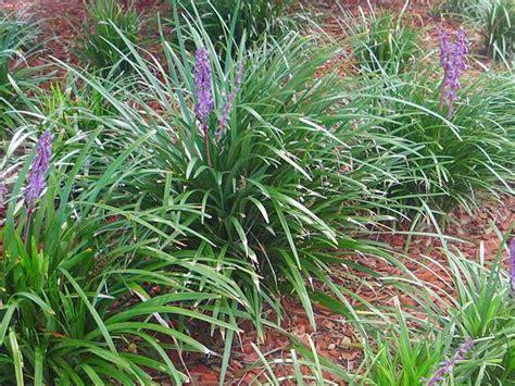 Tall Flowering Shrubs For Shade - giant liriope ponseti landscaping