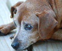 do dogs get dementia 1000 images about dementia in dogs on dementia signs of dementia and dogs