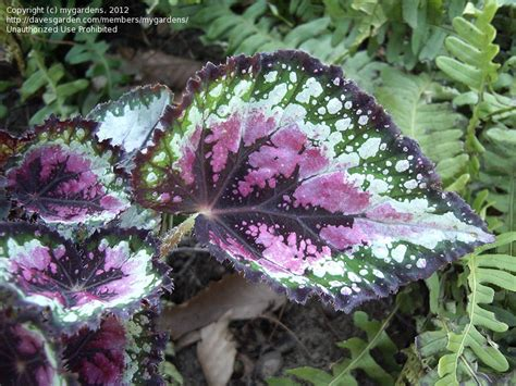 low light outdoor plants plantfiles pictures king begonia painted begonia