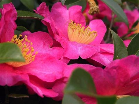 potatura camelia in vaso camelia camellia japonica camellia japonica piante