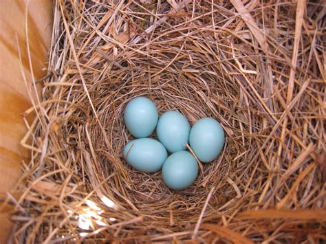 bellwort and blue bird eggs 017