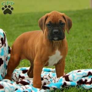 greenfield boxer puppies boxer puppies for sale boxer breed info greenfield puppies