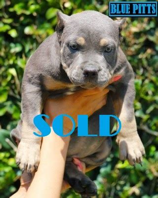 nose pitbull puppies for sale near me pitbull puppies for sale blue nose pitbull puppies for sale cheap pitbull puppies