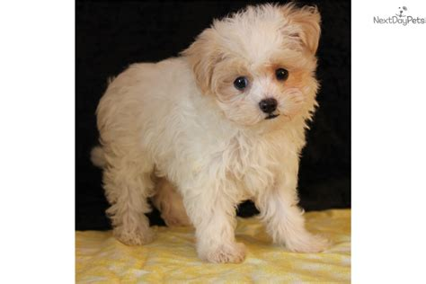 free puppies in tulsa malti poo maltipoo puppy for sale near tulsa oklahoma fbf1a64d ee51