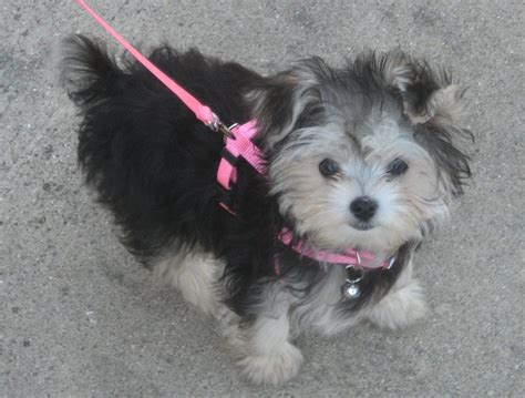 what is a morkie puppy morkie