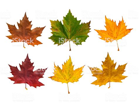 leaf colors autumn maple leaves in different colours stock photo