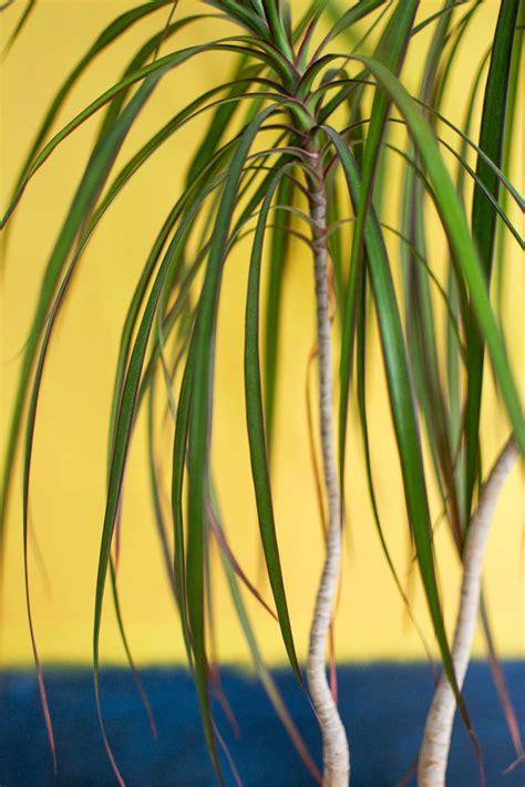 tree like houseplants related keywords tree like