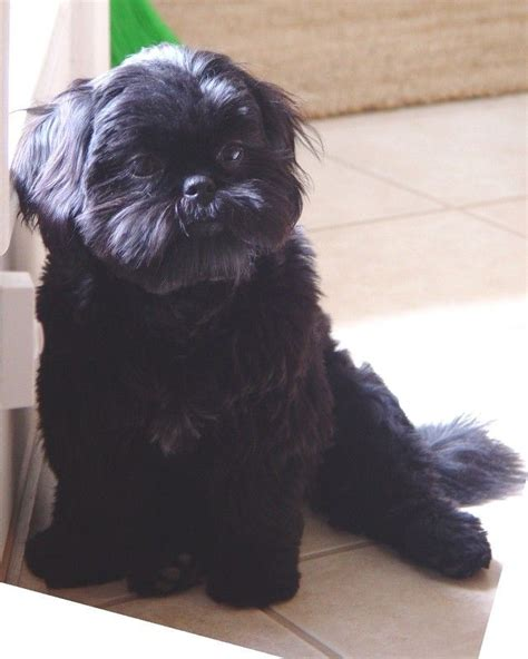 all black shih tzu puppies 1902 best images about shitzu s on dogs pets and shih tzu rescue