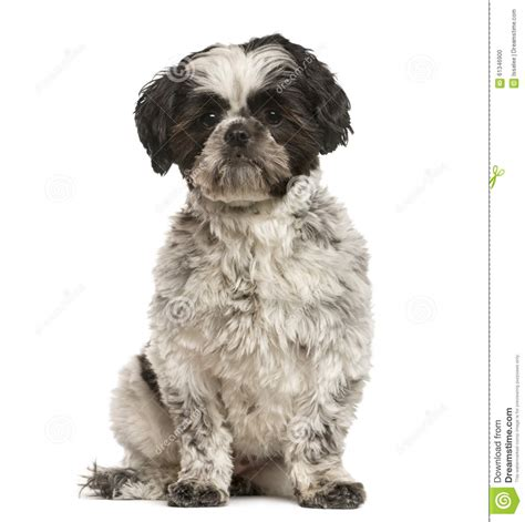 how to my shih tzu puppy to sit shih tzu sitting stock photo image 61346900