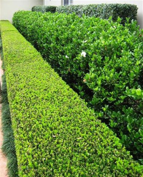 25 best ideas about garden hedges on pinterest hedges hedges landscaping and hedge fence ideas