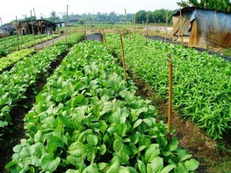 Kitchen Garden Farming In Kenya Commercial Vegetable Farmer Harvesting Vegetable Sylhet