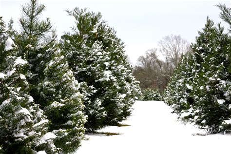 christmas tree farm how to cut your own tree farm review vanvagabonds