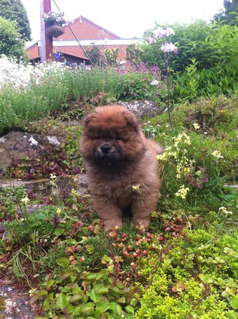 chow chow puppies for sale in michigan chow chow puppies for sale picture and images