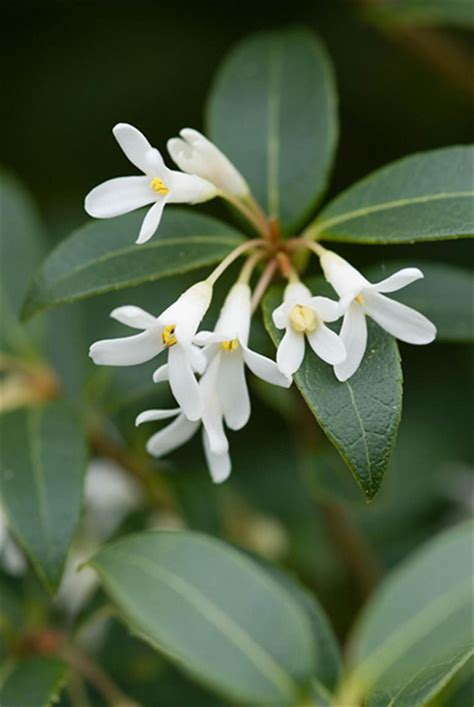 evergreen shrub with white flowers buy osmanthus osmanthus 215 burkwoodii delivery by crocus