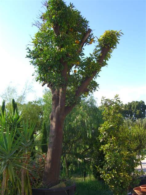 armeni giardini piante agrumi vivaio roma agrumi limoni mandarini aranci
