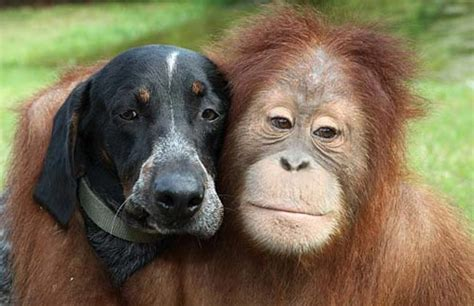 monkeys dogs orangutan and monkey become friends amazing photos