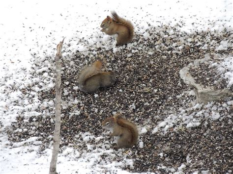 bird feeders attract rats the best rat of 2018