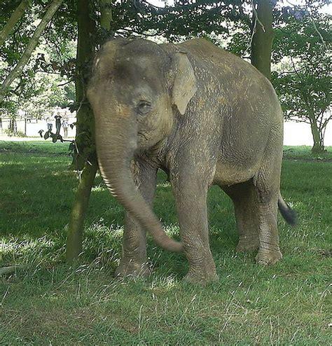 elephant biography in hindi indian elephant adaptive features best elephant 2017