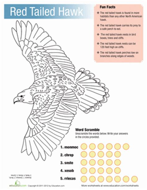 red tailed hawk facts coloring page education com