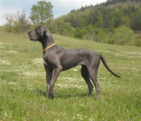 grey great dane puppy happy ending home safe n sound lost west rd s harbour co