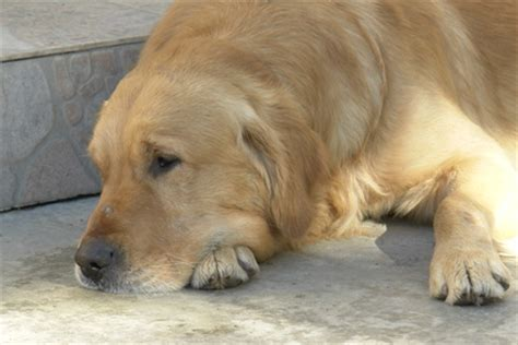 golden retriever skin issues golden retrievers with skin problems pets