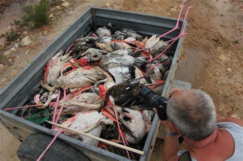 imagenes de unicornios muertos fotos albacete 300 flamencos muertos tras una tormenta