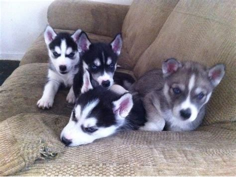 siberian husky puppies for sale in illinois males and females blue siberian husky puppies available now 400 animals
