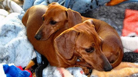 dachshund puppy rescue puppy place book series puppies puppy