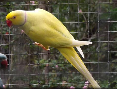 yellow ringneck parakeet www pixshark com images galleries with a bite