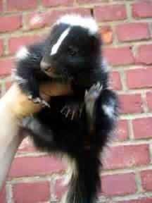 pet skunk related keywords suggestions pet skunk long tail keywords