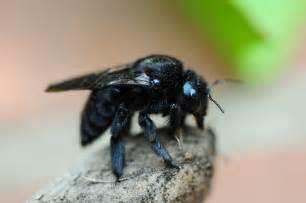 carpenter bees bing images