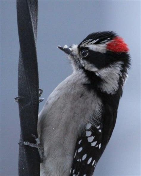 downy woodpecker in burnaby bc birds of bc pinterest
