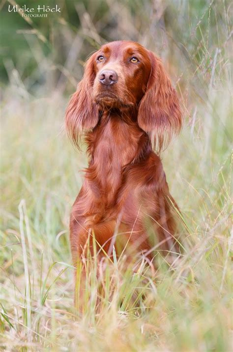 red setter gun dog 130 best images about irish setter on pinterest irish