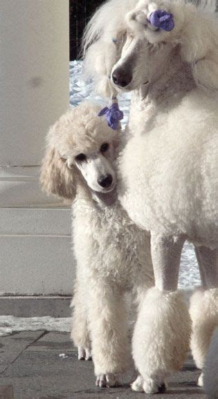 akcwheaton cut 1000 images about standard poodles on pinterest