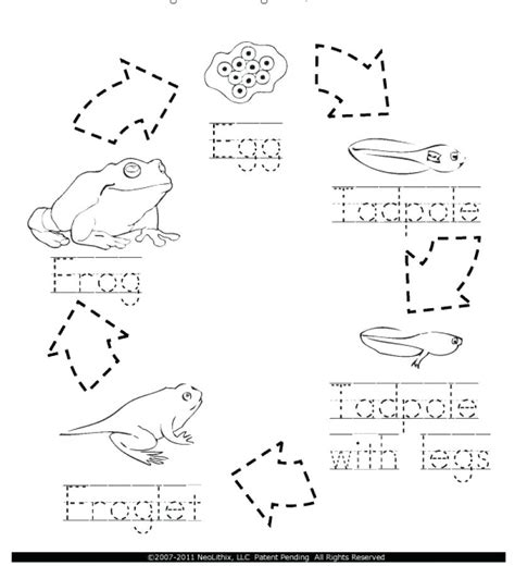 coloring page of frog life cycle life cycle of a frog coloring page coloring pages ideas