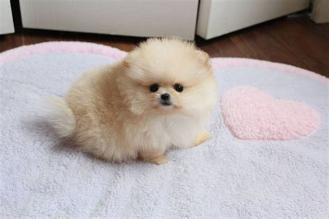 what is a teacup pomeranian 1000 images about pomeranian puppies on
