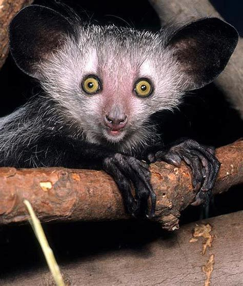 the best of ayes 27 best images about aye aye animal from madigascar