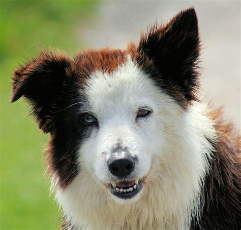 border collie border collie hondenrassen en eigenschappen