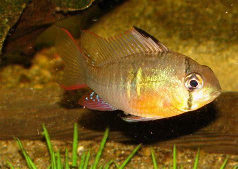 bolvian ram bolivian ram cichlid