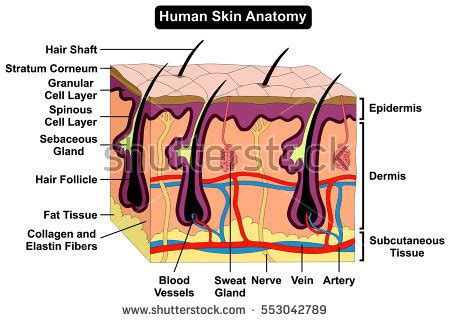 human skin layers stock images royalty free images vectors pictures human skin diagram anatomy labelled