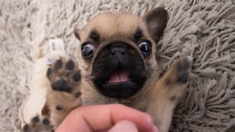 pug babies baby pugs www pixshark images galleries with a bite