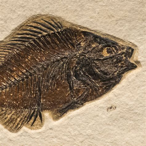 fossil tile natural pr48 n211 eostone