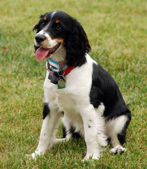 medium sized puppies 17 best ideas about medium breeds on medium dogs golden doodle