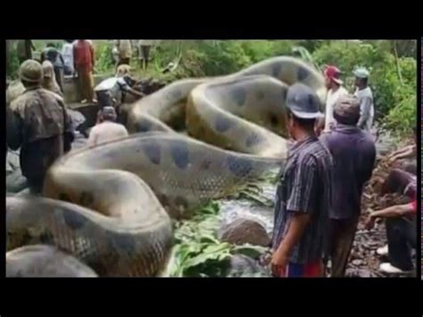 film ular nakonda maior cobra anaconda encontrada na am 233 rica youtube