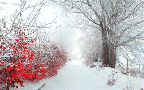 Winter snow trees red white flowers pathway wallpaper