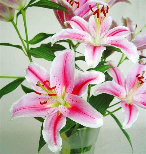 Imagenes De Flores Naturales Lilis | lilium floresyplantas net